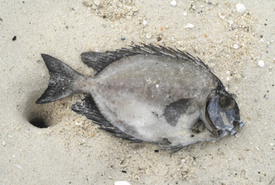 Is the BP Oil Spill to Blame for Sick Fish?